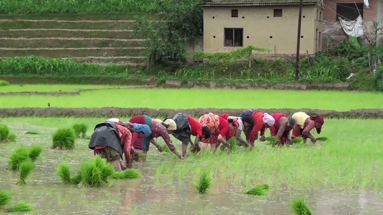 कृषि क्षेत्रमा करिब रु आठ अर्ब ६४ करोडको क्षति