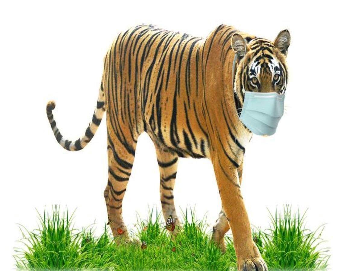 कोरोना भाइरसबाट बाघ पनि सङ्क्रमित